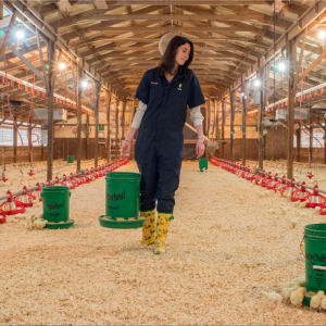 "Veterinarian Seiche Genger, a first year resident in the poultry health management program at the College of Veterinary Medicine, carries a supplemental feeder down the center aisle of the chick-filled teaching animal unit poultry house Tuesday morning, Feb. 10, 2015. Genger is conducting a study to determine if the lesions associated with femoral head necrosis, an osteopathology commonly associated with lameness in poultry, are being artificially induced by the necropsy techniques currently being used or if they are truly a result of pathologic changes in the metaphyseal region of the femur. ""There is a lot of argument in the veterinary field if [these lesions] are truly indicative of femoral head necrosis or not because we find that samples submitted from the field that have been positively identified with femoral head necrosis to our laboratory here, and other diagnostic labs, histopathologically don't indicate such lesions,"" said Genger. By: Caide Wooten"